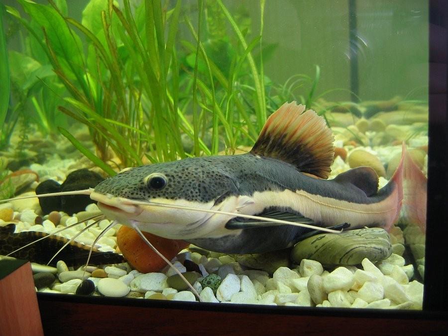 Виды сомиков в аквариуме фото