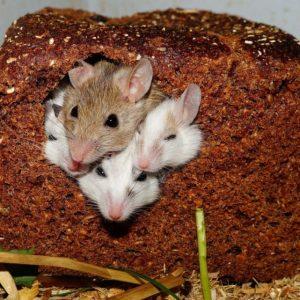 Как избавиться от мышей – обзор эффективных способов быстрого избавления от грызунов (80 фото)